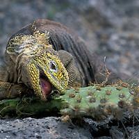 Ecuador, Galapagos Islands, Land Iguana (Conolophus subcristatus) feeding on Opuntia Cactus on Plaza Sur Island