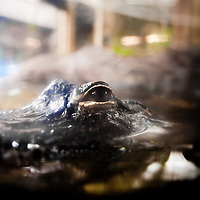 TAMPA, FL -- An alligator rests at the Florida Aquarium in Tampa, Florida.  The aquarium boast numerous exhibits and ecosystems such as the Wetlands Trail, Bays and Beaches, Coral Reef, and Ocean Commotion.  (Photo / Chip Litherland)