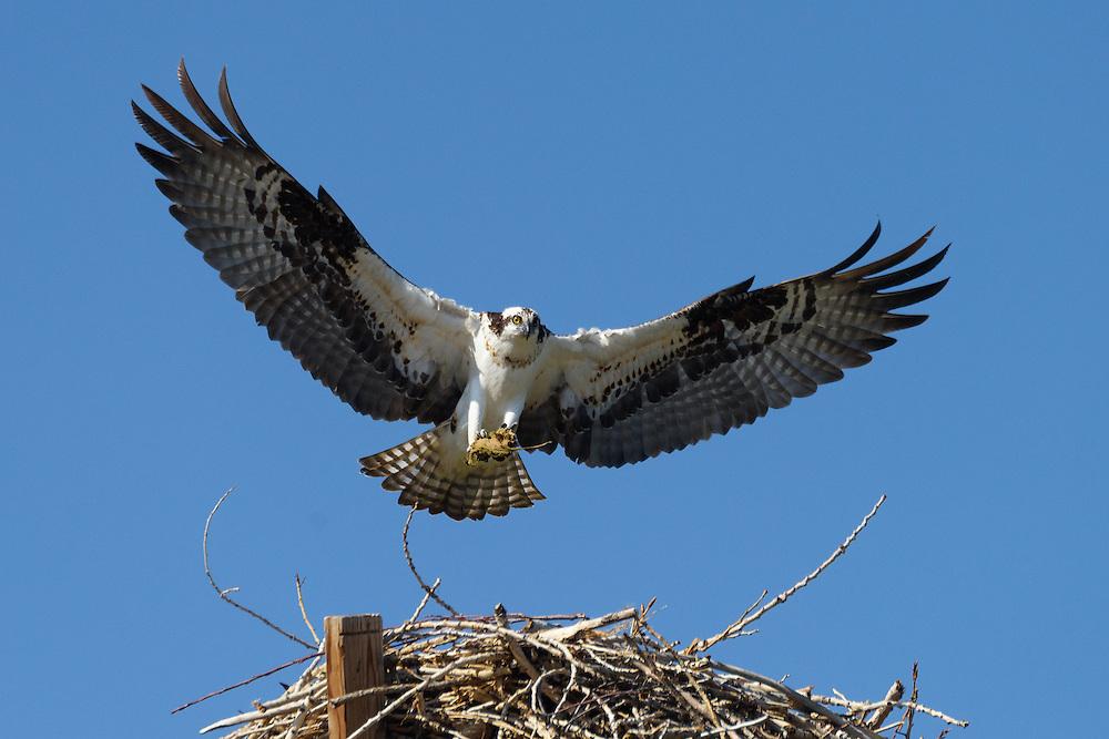 Osprey carrying nesting material, Longmont, Colorado