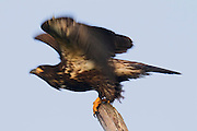 A juvenile bald eagle (Haliaeetus leucocephalus) takes off from its perch. At the time this image was taken, the eagle had been flying for about a week and a half.