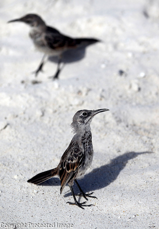 Two hood mockingbirds are photographed on the beach on Espanola Island in the Galapagos.