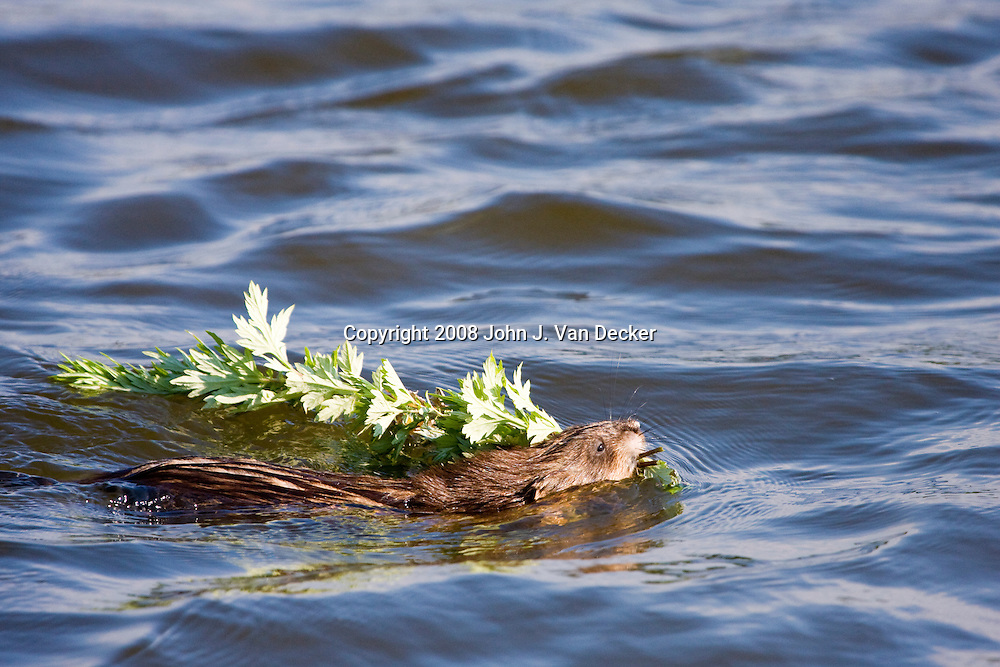 Muskrat,  Ondatra zibethicus, swimming with foraged vegetation back to its nest