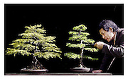 JAPANESE CONSUL GENERAL SHUHEI TAKAHASHI TENDS TO SOME BONSAI TREES IN PREPARATION FOR THIS YEARS GARDENING SCOTLAND AT INGLESTON, EDINBURGH.