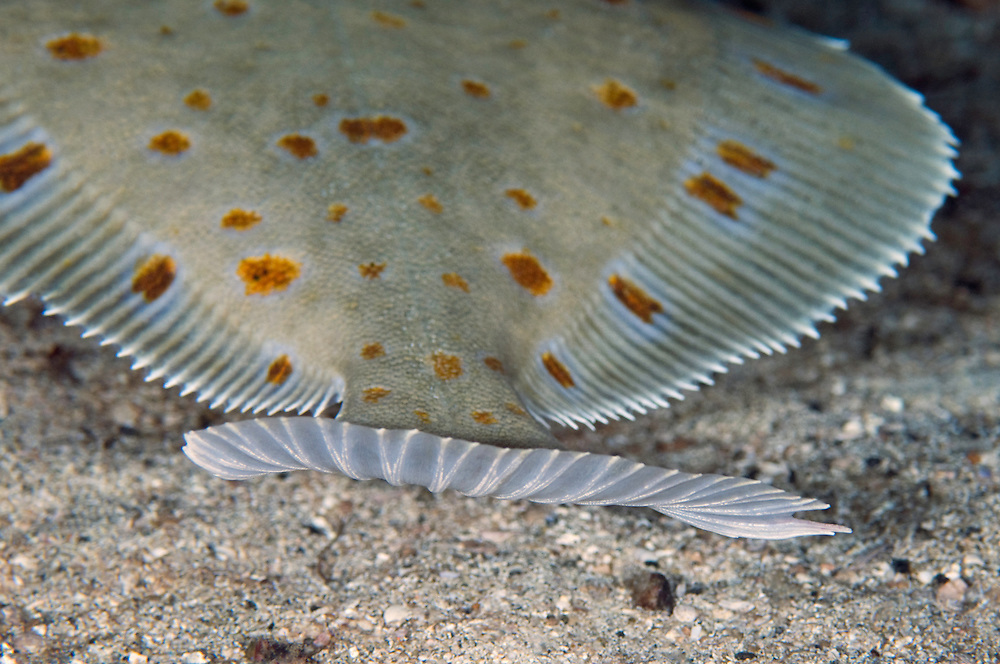 European plaice, Pleuronectes platessa<br /> Moere coastline, Norway