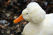 Close-up of a White Crested Duck in the harbor of Camden, Maine.