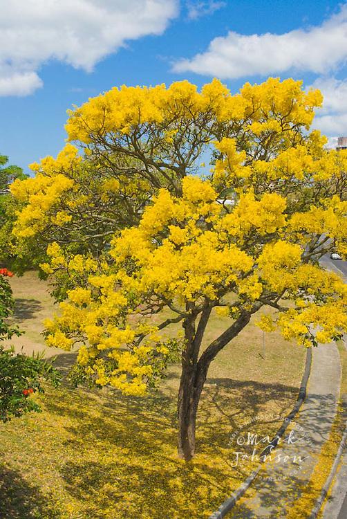 Golden shower tree, Honolulu, Hawaii