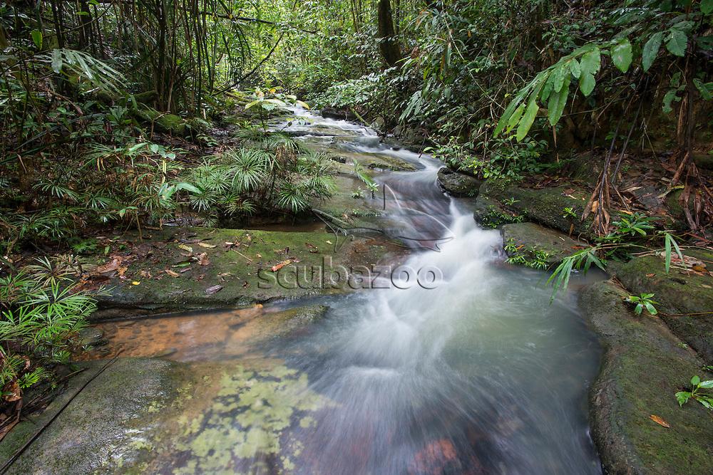 Ferns, Dipteris lobbiana, growing in a stream, Maliau Basin, Sabah, Malaysia, Borneo,