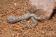 Glossy Snake, Arizona elegans; Sonoran Desert, Arizona