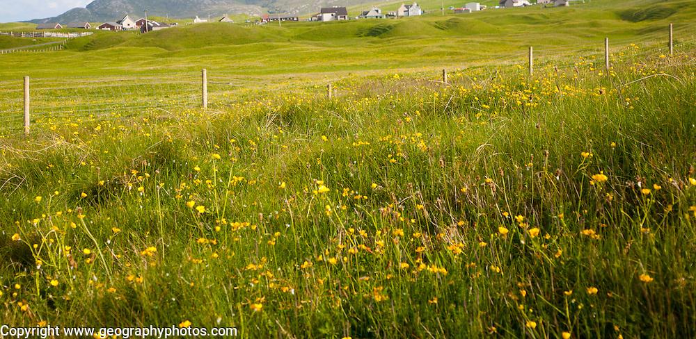 Machair grassland wildflowers in summer,  Vatersay island, Barra, Outer Hebrides, Scotland, UK