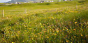 Machair grassland wildflowers in summer,  Vatersay island, Barra, Outer Hebrides, Scotland, UK