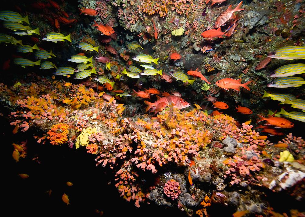 The bluestripe snapper, Lutjanus kasmira, Angelfish, lush soft corals typical of Maldives reef