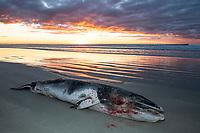 Stranded Dwarf Minke Whale, Struisbaai, Western Cape, South Africa