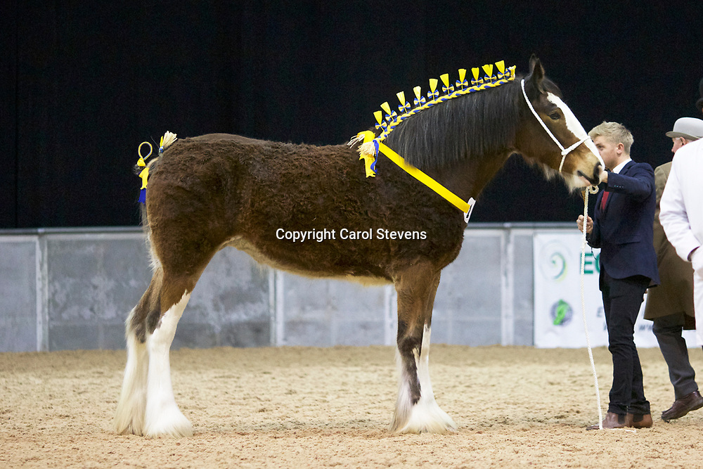 Mr Paul Bedford's Rosemoore Sapphire  (No.168)<br /> Sire  Moore's Gay Edward<br /> Dam  Marieth Michaela<br /> Breeder  Mr J Kitching<br /> 2nd Filles 2 years old