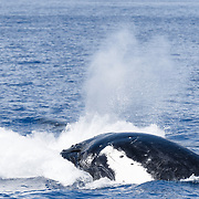 This sequence of 17 images shows a humpback whale (Megaptera novaeangliae australis) executing a forward breach. As the whale emerges from the ocean, water streams off the animal's body, as well as from the sides of the whale's mouth. The whale exhales with great force as it surfaces, creating a cloud of water vapor, then inhales through open nostrils before plunging back into the water. The entire sequence spans just over one second of time. Image 17 of 17.