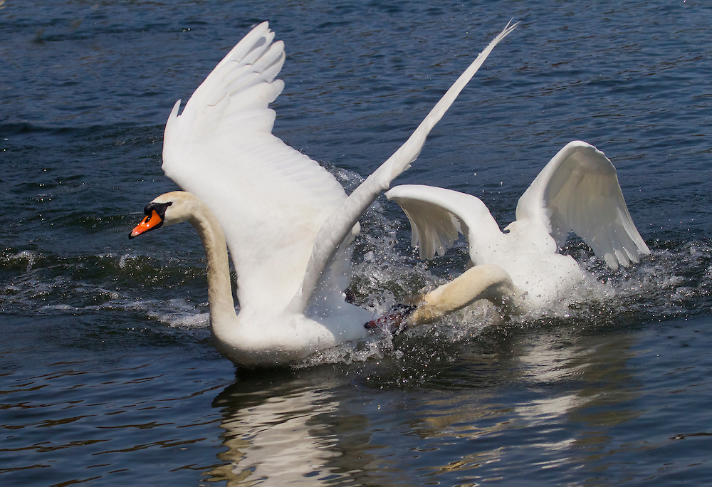 The dominant male swan at the lake shows who is boss to a rival -- probably his own sibling.