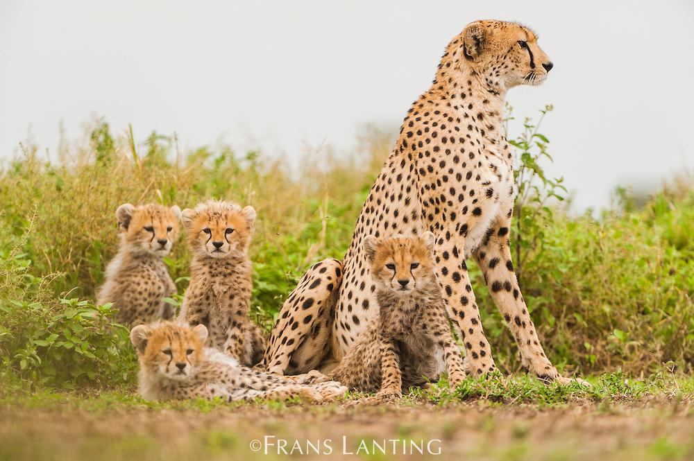 Cheetah mother with cubs, Acinonyx jubatus, Serengeti National Park, Tanzania