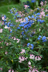 Salvia greggii 'Stormy Pink' and Salvia uliginosa