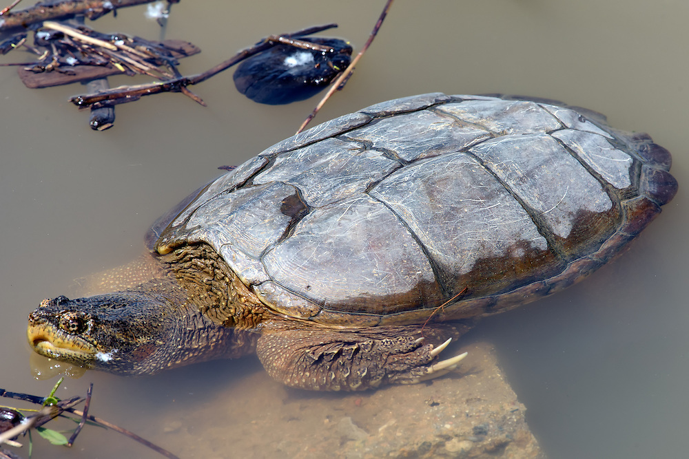 Snapping Turtle, Twin Lakes Open Space, Boulder County, Colorado