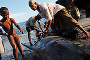 Two pilot whales are brought to the beach having been harpooned at sea. The meat is carefully cut in to pieces for distributing to the community, each person getting a specific part. The Indonesian village of Lamalera has hunted whales, sharks and dolphins for the last 500 years. Their method is to leap from a small wooden boat with a long harpoon made of bamboo and spear the animal. Once brought to shore the animal is divided in to parts and distributed to the community, partly for consumption and partly for exchanging with other inland communities for corn and rice..On the 21 May 2009 at the World Oceans Conference, the Indonesian government officially declared 3.5 million hectares of critical marine habitat in the Savu Sea for conservation. Though government representatives have assured that traditional whaling -- which has been supporting the surrounding communities' means of living -- will not be banned in the area immediately outside the zone, concerns still remain. Lamalera is one of the last remaining Indonesian whaling communities and is categorized by the International Whaling Commission as aboriginal whaling..