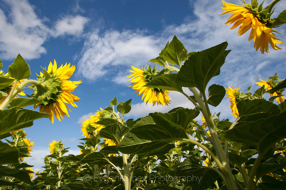 Sunflowers viewed from below