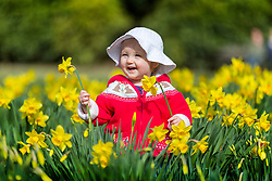 © Licensed to London News Pictures. 16/03/2020. Leeds UK. One year old Holly plays in the Daffodils at Temple Newsam park this morning on a bright sunny day in Leeds, Yorkshire. Photo credit: Andrew McCaren/LNP
