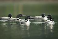 Five Loons in hunting circle