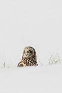 A short-eared owl, intent on finding his next meal, dives into the snow.  On this instance, he came up empty, but that didn't discourage him in his quest.