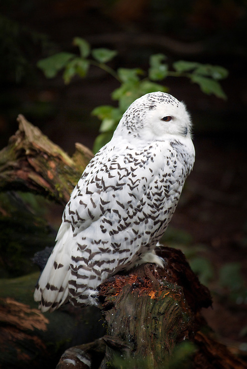 The snowy owl (Bubo scandiacus) is a large, white owl of the typical owl family. Snowy owls are native to Arctic regions in North America.