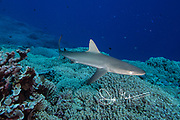A juvenile Gray reef shark swims over the coral reef on Tenararo island, French Polynesia.
