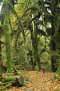 Hall of Mosses, Hoh Rainforest, Olympic Peninsula, Washington, USA<br />