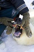 Polar Bear<br /> Ursus maritimus<br /> Polar bear biologist Nick Lunn examines the teeth of an anesthetized adult female<br /> Wapusk National Park, Canada