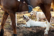 Fox hounds at the Middleton Place Fox Hunt during a break in the hunt at Middleton Place plantation in Charleston, SC. The hunt is a drag hunt where a scented cloth is used instead of live fox.