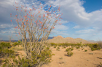 Ocotillo (Fouquieria splendens), Big Bend National Park, Texas
