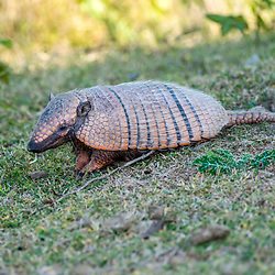 """Tatu-peba (Euphractus sexcinctus) fotografado em Corumbá, Mato Grosso do Sul. Bioma Pantanal. Registro feito em 2017.<br /> <br /> <br /> <br /> ENGLISH: Six-banded armadillo photographed in Corumbá, Mato Grosso do Sul. Pantanal Biome. Picture made in 2017."""