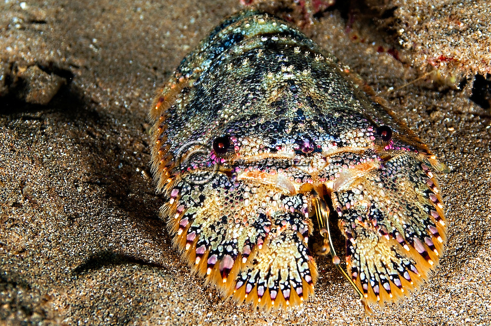 Brown Slipper Lobster, Sculptured Mitten Lobster, Parribacus antarcticus, (Lund, 1793), Maui Hawaii