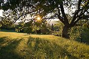 Evening sun shining through branches of an oak tree
