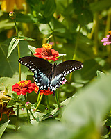 Spicebush Swallowtail Butterfly. Image taken with a Nikon 1 V3 camera and 70-300 mm VR lens