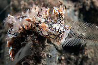 A Bornella Nudibranch feeds on a Hydroid<br /> <br /> Shot in Indonesia