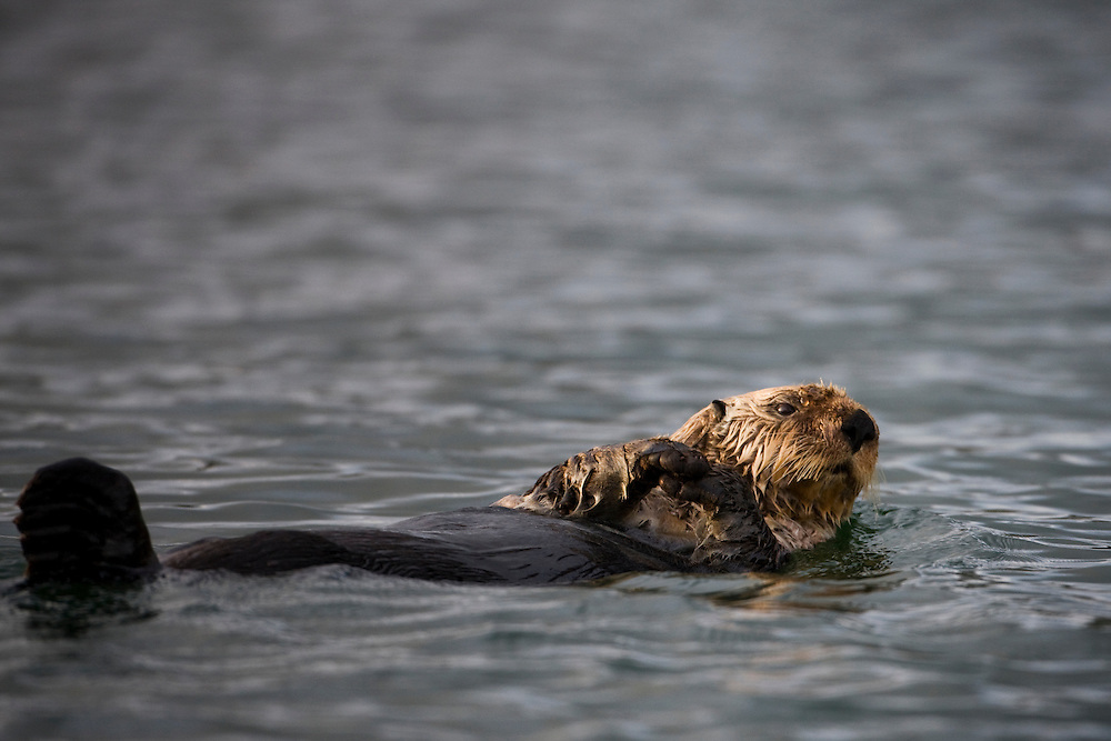 USA, Alaska, Kodiak Island, Sea Otter (Enhydra lutris) floating in Afognak Bay on summer evening