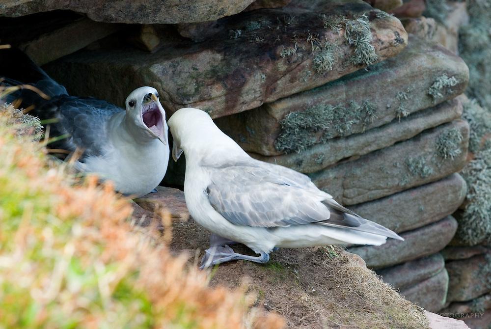 Fulmars (Fulmarus glacialis) perched on cliffs Isle of Hoy, Orkney Islands Scotland