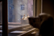 """English Setter """"Rudy"""" wartet am 24.02. 2019 auf ein gekochtes Hähnchen das auch der Fensterbank in Prag abkühlt. Rudy wurde Anfang Januar 2017 geboren."""