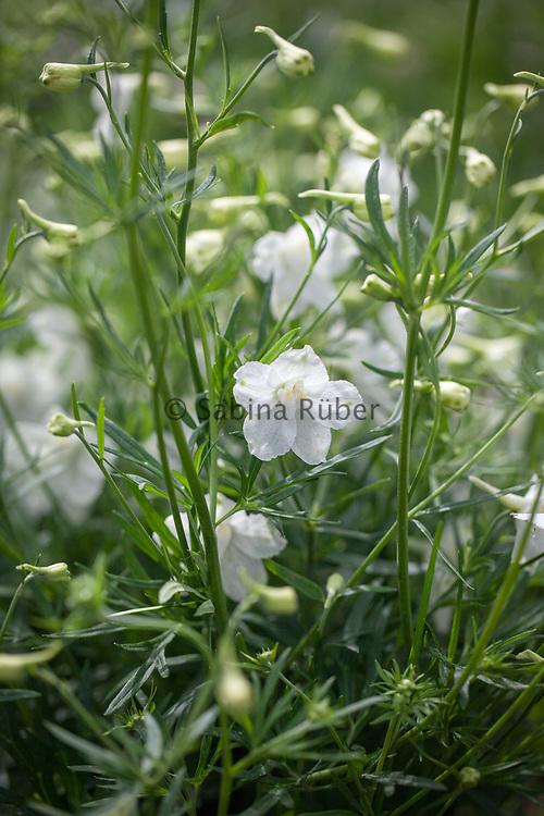 Delphinium grandiflorum 'White Butterfly' - Siberian larkspur