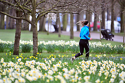 &copy; Licensed to London News Pictures.30/03/2018<br /> GREENWICH, UK.<br /> Greenwich Park  Daffodils on a cloudy good Friday morning.<br />  Photo credit: Grant Falvey/LNP
