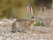 Cape Hare - Lepus capensis