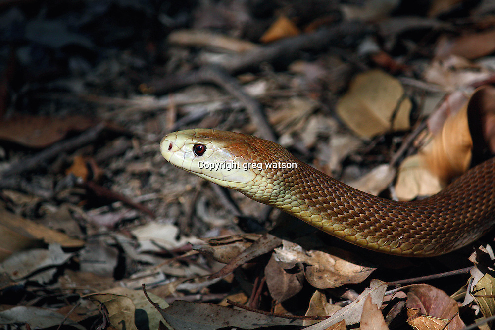 Coastal Taipan (Oxyuranus scutellatus)- Australia's longest venomous snake and one of the most dangerous. Alert and highly intelligent they will aways try to avoid trouble. Disturb one too much and watch out! Prior to effective treatment in 1957 every bite was fatal