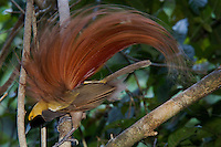 Goldie's Bird of Paradise..Paradisaea decora.