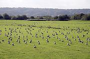 Nederland, Ubbergen, 22-10-2013Wilde grauwe ganzen in de Ooijpolder. Elk jaar overwinteren tienduizenden ganzen in de Gelderse Poort en de uiterwaarden langs de rivier de Waal.Foto: Flip Franssen/Hollandse Hoogte