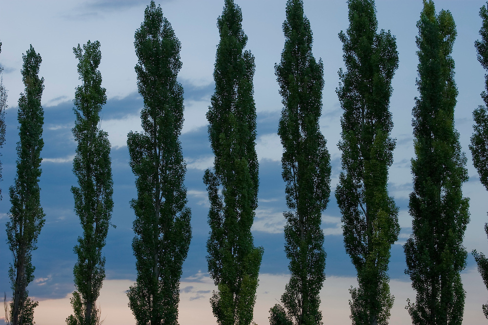 Close-up of line of poplars at sunset