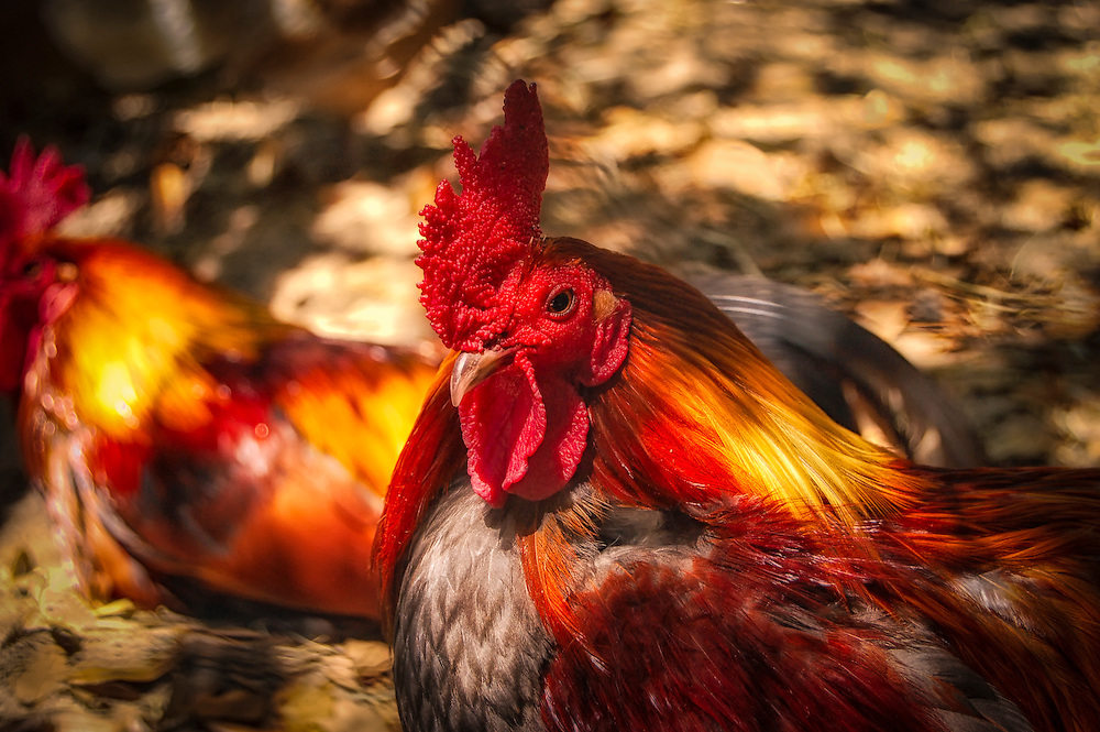 A gorgeous and incredibly vivid rooster close-up on a Florida farm.