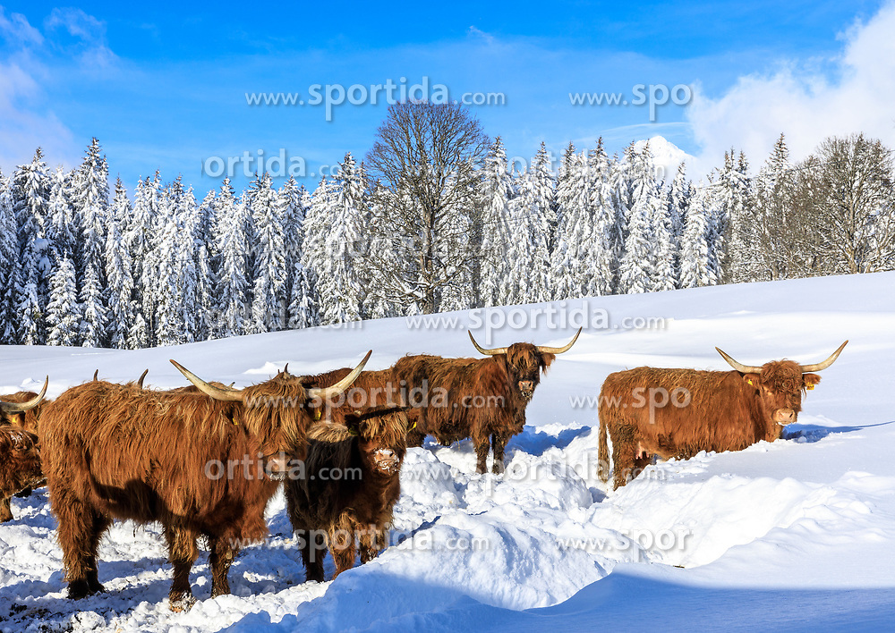 THEMENBILD - In der Steiermark gab es Anfang Jänner heftige Schneefälle und Sturm, auf die am 11. Jänner ein Schönwettertag folgte. Hier im Bild schottische Hochlandrinder im Schnee, aufgenommen am Freitag 11. Jänner 2019 in Ramsau am Dachstein, Steiermark // In Styria at the beginning of January there were heavy snowfalls and storms, followed by a fine weather day on January 11th. Scottish highland cattle in the snow, pictured on Friday January 11th 2019 in Ramsau am Dachstein, Steiermark. EXPA Pictures © 2019, PhotoCredit: EXPA/ Martin Huber